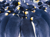Emperor Penguins Huddling, Aptenodytes Forsteri, Weddell Sea, Antarctica Photographic Print by Frans Lanting