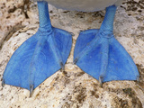 Blue-Footed Booby Feet, Sula Nebouxii, Galapagos Islands Reproduction photographique par Frans Lanting
