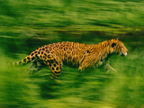 Jaguar Running, Panthera Onca, Brazil Photographic Print by Frans Lanting