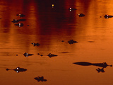 Yacare Caimans at Twilight, Caiman Yacare, Pantanal, Brazil Photographic Print by Frans Lanting
