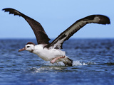 Laysan Albatross Juvenile Taking Off from Water, Phoebastria Immutabilis, Hawaiian Leeward Islands Photographic Print by Frans Lanting