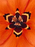 Iris, Moraea Insolens, South Africa Fotografie-Druck von Frans Lanting