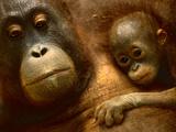 Bornean Orangutan Mother and Baby, Pongo Pygmaeus, Sepilok Reserve, Sabah, Borneo Photographic Print by Frans Lanting