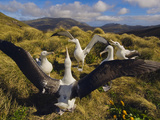 Southern Royal Albatrosses Courting, Diomedea Epomophora, Campbell Island, New Zealand Photographic Print by Frans Lanting