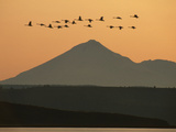 Whistling Swans Flying Near Mt Shasta, Cygnus Columbianus, Klamath Basin Nat'l Wildlife Refuge, CA Photographic Print by Frans Lanting
