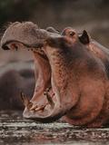 Hippo Threatening, Hippopotamus Amphibius, Okavango Delta, Botswana Photographic Print by Frans Lanting
