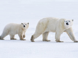 Polar Bear Mother and Cub, Ursus Maritimus, Hudson Bay, Canada Photographic Print by Frans Lanting