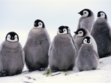 Emperor Penguin Chicks, Aptenodytes Forsteri, Antarctica Photographic Print by Frans Lanting