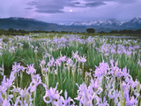 Wild Irises, Moraea Sp., Owens Valley, California Photographic Print by Frans Lanting