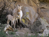 Takhi Mare with Foal, Equus Caballus Przewalskii, Hustain Nuruu National Park, Mongolia Photographic Print by Frans Lanting