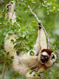 Verreaux's Sifaka in Tree, Propithecus Verreauxi, Beza Mahafaly Special Reserve, Madagascar Photographic Print by Frans Lanting