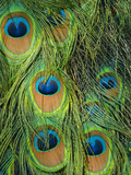 Peacock Feathers, Pavo Cristatus, Native to India Lámina fotográfica por Frans Lanting