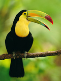 Keel-Billed Toucan, Ramphastos Sulfuratus, Belize Papier Photo par Frans Lanting