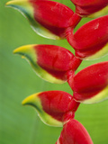 Heliconia Bracts, Atlantic Forest, Brazil Photographic Print by Frans Lanting