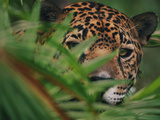 Jaguar in Undergrowth, Panthera Onca, Belize Photographic Print by Frans Lanting