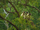 Verreaux's Sifakas in Trees, Propithecus Verreauxi, Berenty Reserve, Madagascar Photographic Print by Frans Lanting