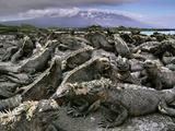 Marine Iguanas, Amblyrhynchus Cristatus, Fernandina Island, Galapagos Islands Photographic Print by Frans Lanting