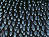 California Quail Breast Feathers, Callipepla Californica, California Photographic Print by Frans Lanting