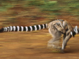 Ring-Tailed Lemur Running with Young, Lemur Catta, Berenty Reserve, Madagascar Photographic Print by Frans Lanting