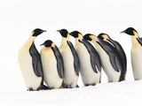 Emperor Penguins, Aptenodytes Forsteri, Weddell Sea, Antarctica Photographic Print by Frans Lanting