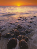 Horseshoe Crabs Spawning, Limulus Polyphemus, Delaware Bay, New Jersey Photographic Print by Frans Lanting