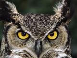 Great Horned Owl, Bubo Virginianus, Monterey Bay, California Reproduction photographique par Frans Lanting