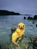 Antarctic Fur Seal Pup, Blond Morph, Arctocephalus Gazella, South Georgia Island Photographic Print by Frans Lanting