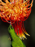 Malachite Sunbird, Nectarinia Famosa, Feeding on Protea Flower, Leucospermum Reflexum, South Africa Photographic Print by Frans Lanting