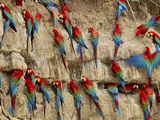 Red-And-Green Macaws at Clay Lick, Ara Chloroptera, Manu National Park, Peru Photographic Print by Frans Lanting