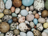 Bird Egg Collection, Western Foundation of Vertebrate Zoology, Los Angeles, California Fotografie-Druck von Frans Lanting