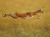 Impala Leaping, Aepyceros Melampus, Masai Mara Reserve, Kenya Photographic Print by Frans Lanting