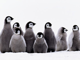 Emperor Penguin Chicks, Aptenodytes Forsteri, Weddell Sea, Antarctica Photographie par Frans Lanting