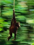 Bornean Orangutan Swinging on Vine, Pongo Pygmaeus, Sepilok Reserve, Sabah, Borneo Photographic Print by Frans Lanting