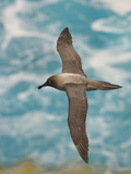 Light-Mantled Sooty Albatross in Flight, Phoebetria Palpebrata, Campbell Island, New Zealand Photographic Print by Frans Lanting
