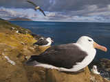 Black-Browed Albatrosses Nesting, Thalassarche Melanophrys, Saunders Island, Falkland Islands Reproduction photographique par Frans Lanting