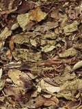 Nightjar on Nest in Leaf Litter, Caprimulgus Sp., Cocksomb Basin, Belize Photographic Print by Frans Lanting