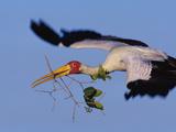 Yellow-Billed Stork Carrying Nesting Material, Mycteria Ibis, Okavango Delta, Botswana Reprodukcja zdjęcia autor Frans Lanting