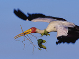Yellow-Billed Stork Carrying Nesting Material, Mycteria Ibis, Okavango Delta, Botswana Photographic Print by Frans Lanting