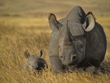 Black Rhinoceros with Young, Diceros Bicornis, Ngorongoro Conservation Area, Tanzania Fotografisk tryk af Frans Lanting