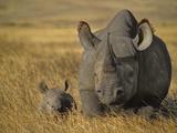 Black Rhinoceros with Young, Diceros Bicornis, Ngorongoro Conservation Area, Tanzania Reprodukcja zdjęcia autor Frans Lanting