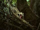 Giant Leaf-Tailed Gecko, Uroplatus Fimbriatus, Nosy Mangabe Reserve, Madagascar Photographic Print by Frans Lanting