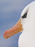 Black-Browed Albatross, Thalassarche Melanophrys, Saunders Island, Falkland Islands Photographic Print by Frans Lanting