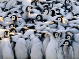 Emperor Penguin Chicks Huddling, Aptenodytes Forsteri, Antarctica Photographic Print by Frans Lanting
