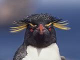 Rockhopper Penguin, Eudyptes Chrysocome, Falkland Islands Photographic Print by Frans Lanting