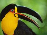 Aerial Toucan, Ramphastos Vitellinus Ariel, Iguacu National Park, Brazil Photographic Print by Frans Lanting