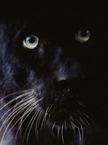 Black Leopard, Panthera Pardus, Native to Africa and Asia Photographic Print by Frans Lanting