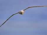 Salvin's Albatross in Flight, Thalassarche Salvini, New Zealand Photographic Print by Frans Lanting