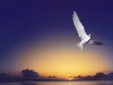 Fairy Tern at Twilight, Gygis Alba, Hawaiian Leeward Islands Photographic Print by Frans Lanting