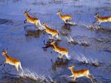 Red Lechwe Running (Aerial), Kobus Leche Leche, Okavango Delta, Botswana Fotografisk trykk av Frans Lanting