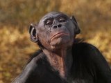 Bonobo Female, Pan Paniscus, Native to Congo (DRC) Photographic Print by Frans Lanting